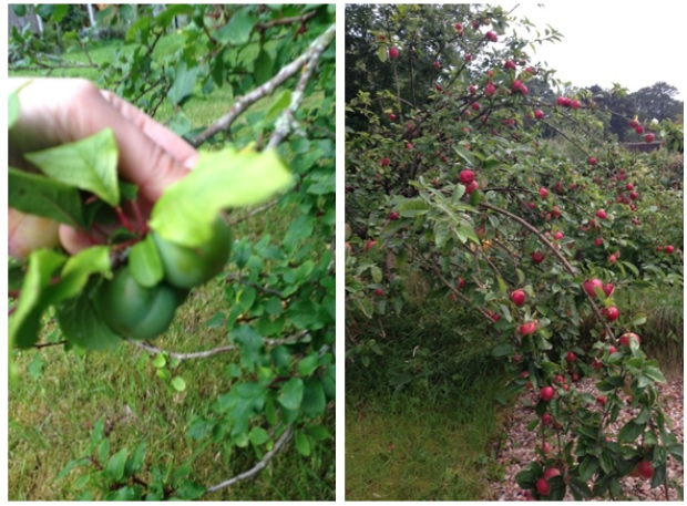 Foraging for plums and greengages